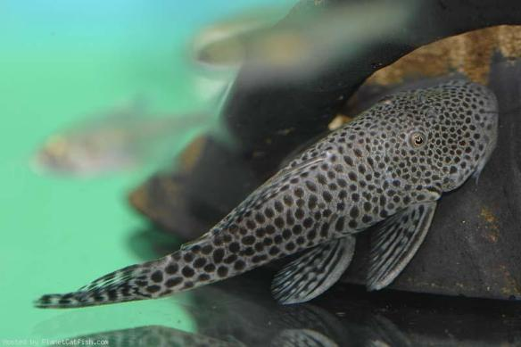 The RUBBERnose Pleco is a.k.a. the BULL(TAURUS)DOG/ (GOD) Pleco.