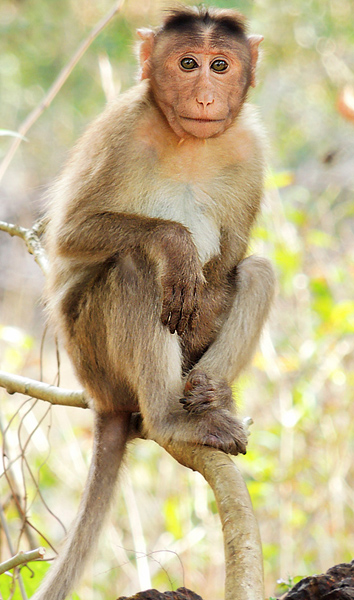 Bonnet_macaque_(Macaca_radiata)_Photograph_By_Shantanu_Kuveskar